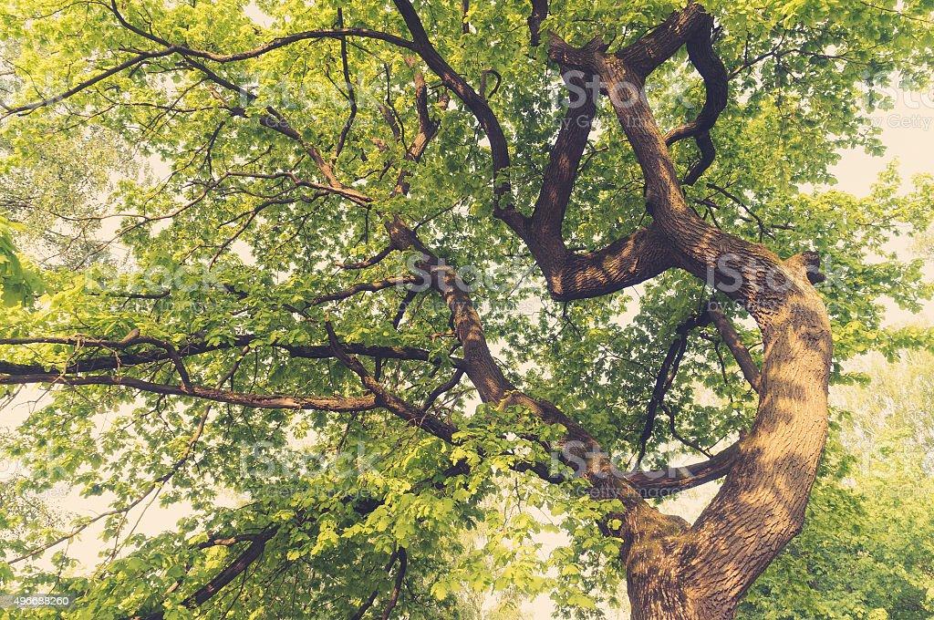 Ancient oaks leafy treetop stock photo