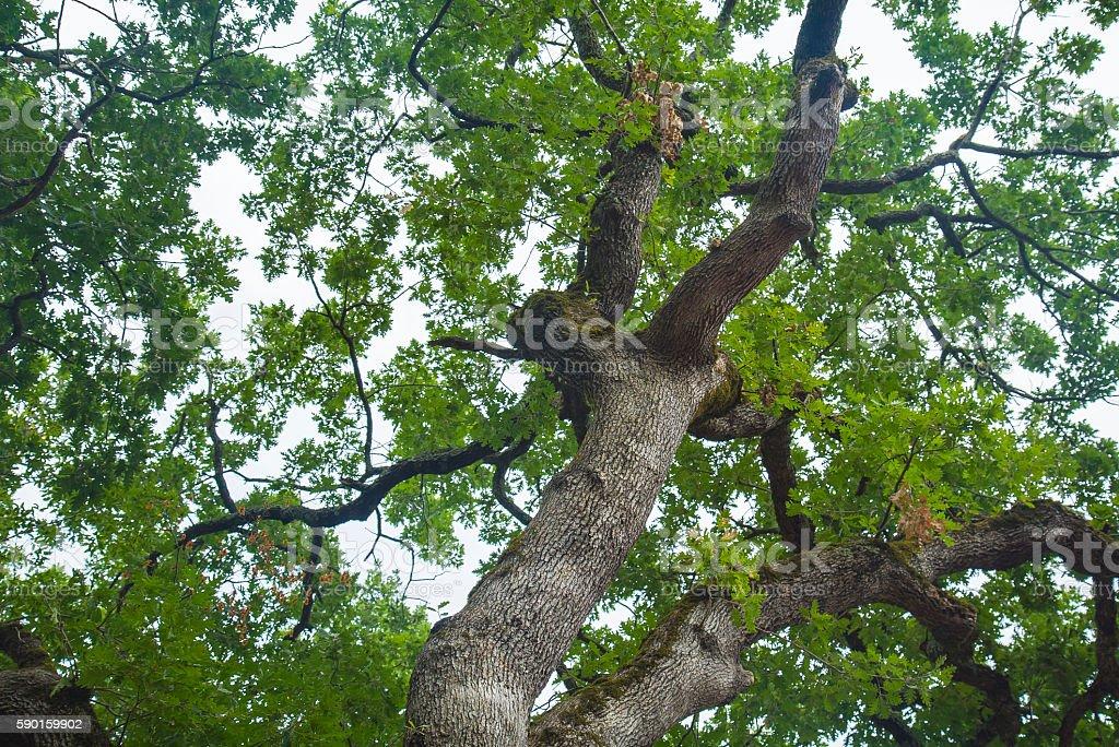 Ancient oaks leafy treetop. stock photo