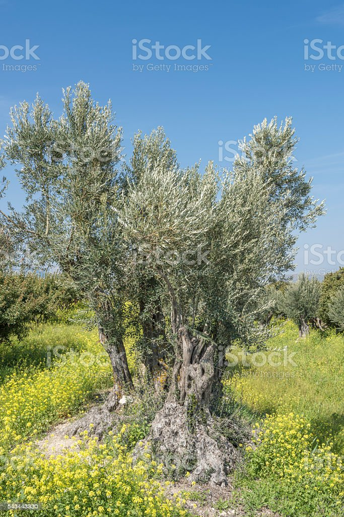 Ancient olive tree on Chios Island in Greece stock photo