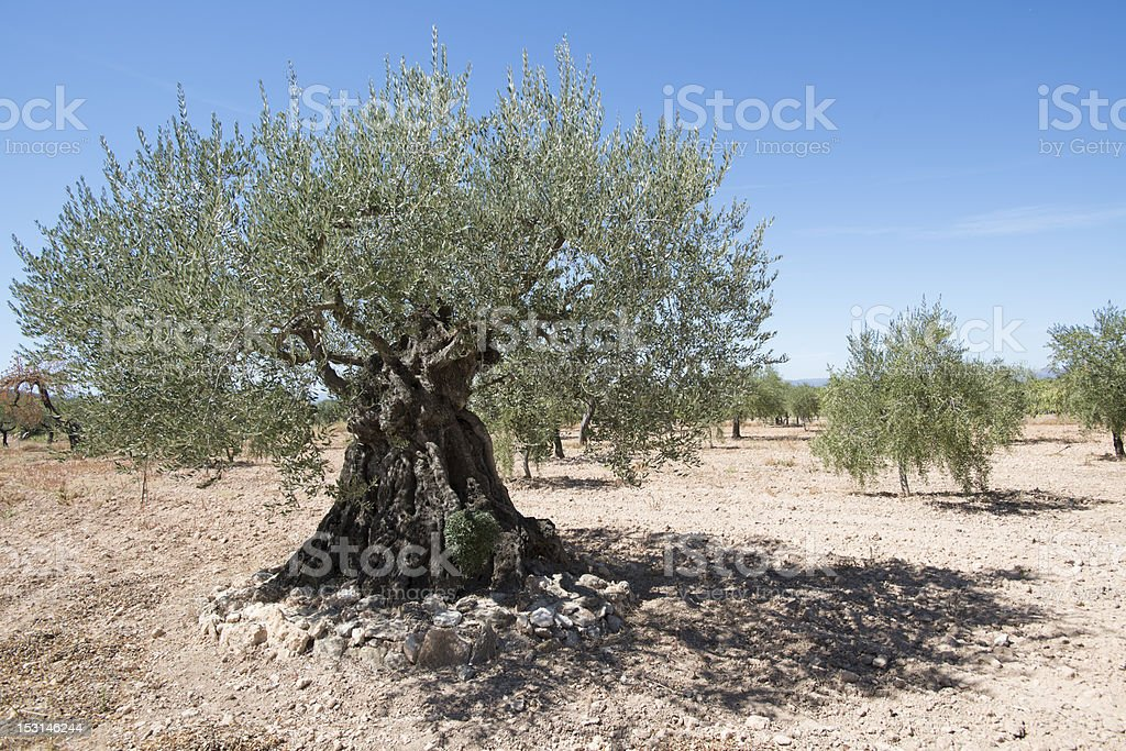 Ancient olive tree royalty-free stock photo