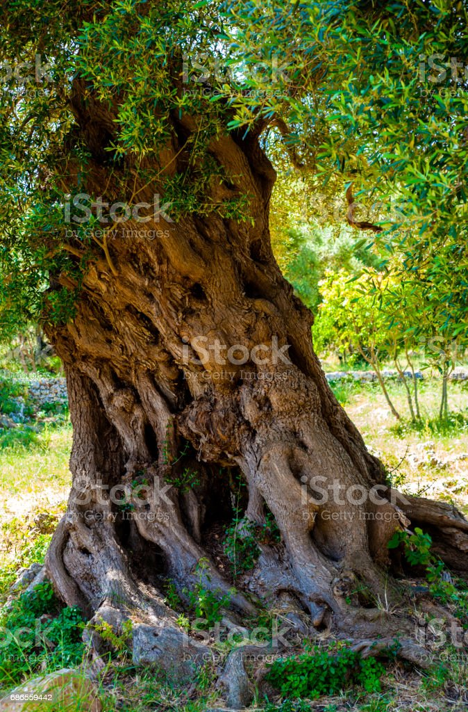 Ancient olive tree trunk, apulia. Italy royalty-free stock photo