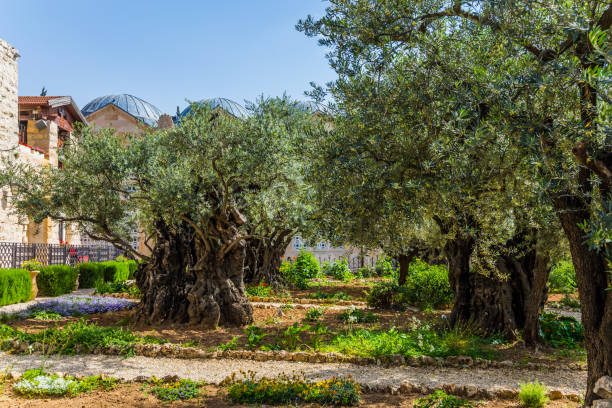 Ancient olive trees stock photo