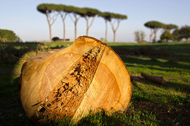 Ancient pine tree cut down in the aqueducts park, Rome. stock photo