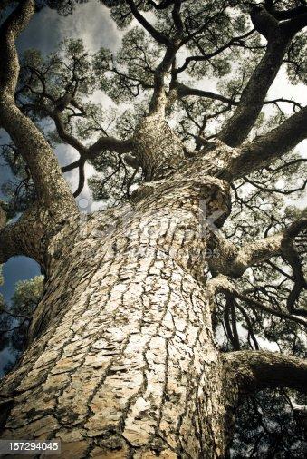 istock Ancient Pine Tree 157294045