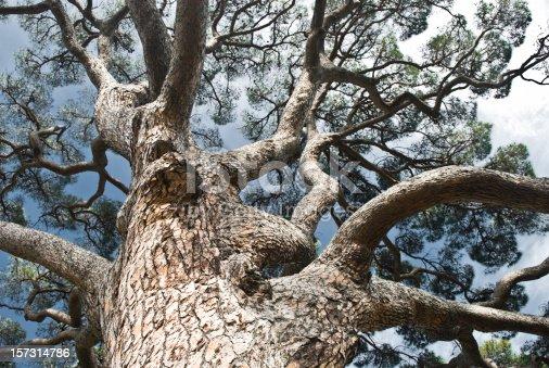 istock Ancient Pine Tree 157314786