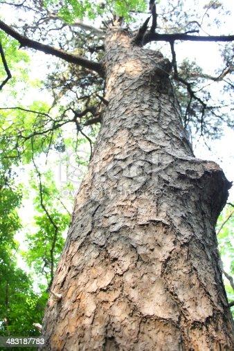 istock Ancient Pine Tree. 483187783