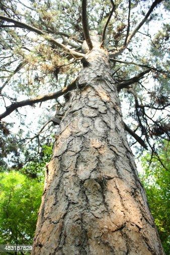 istock Ancient Pine Tree. 483187829