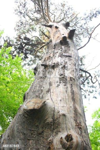 istock Ancient Pine Tree. 483187843