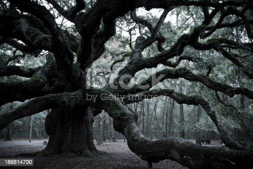 istock Ancient scary Angel Oak near Charleston 186814700