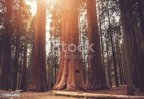 Giant Ancient Sequoias Woodland. Sierra Nevada World Famous Sequoias National Park. California, United States of America.