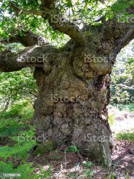 Photo of Ancient Stumpy Oak 4