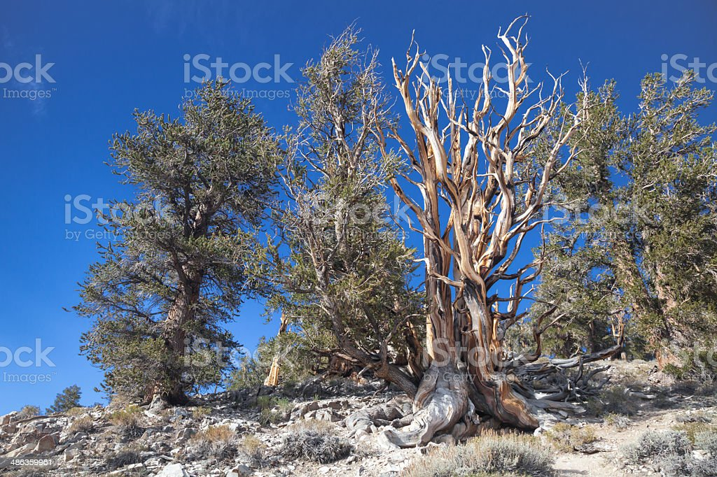 Ancient Tree Grove royalty-free stock photo