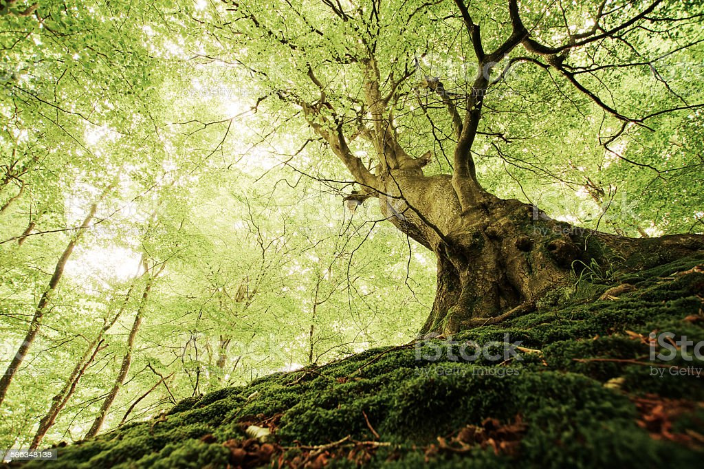 Ancient Tree in a Danish Forest stock photo