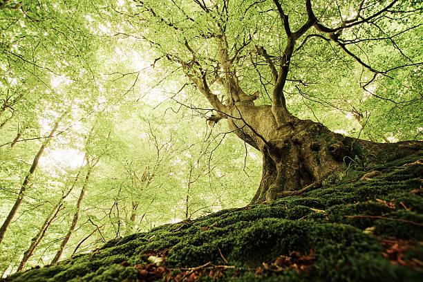 ancient tree in a danish forest - baumgruppe stock-fotos und bilder
