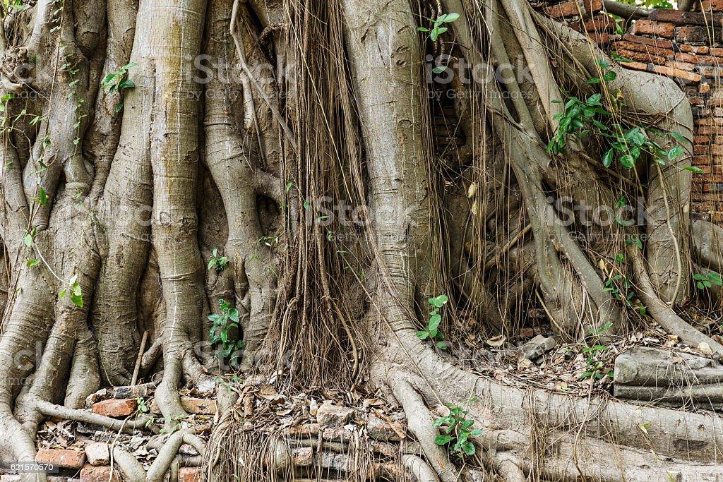 Racines d'arbres anciens photo libre de droits