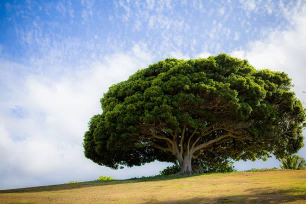 Antiguo árbol Tropical bajo cielo azul salpicado de nubes - foto de stock