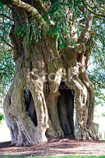 istock Ancient twisted yew tree trunk, St Marys church, Lytchett Matravers, Dorset, England, UK. 1307382042