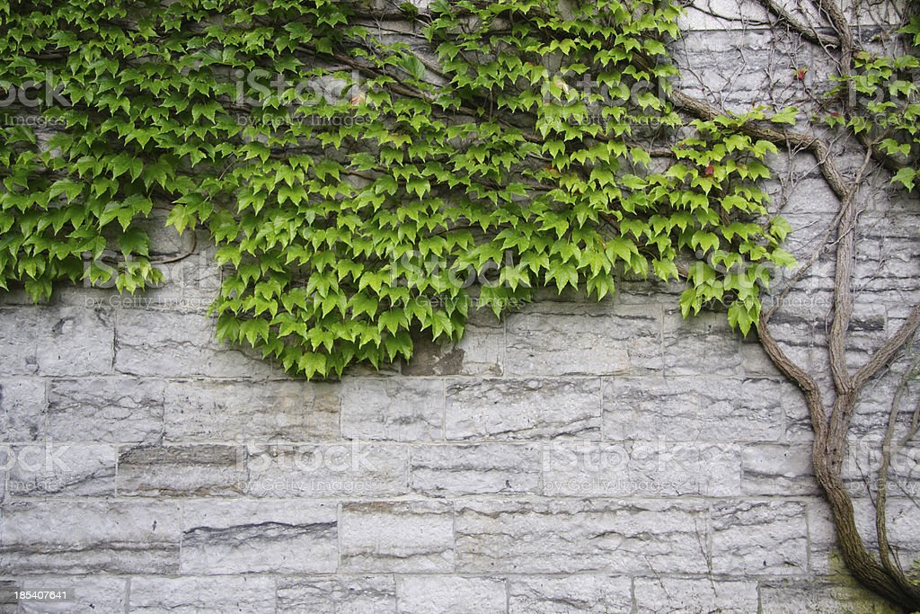 ancient vine on old stone stock photo