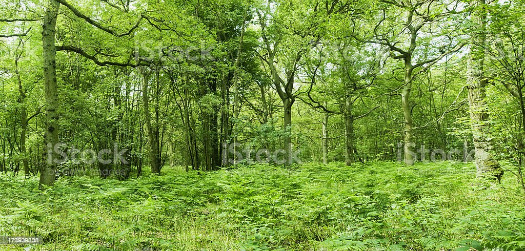 Ancient Woodland with Ferns and Trees stock photo