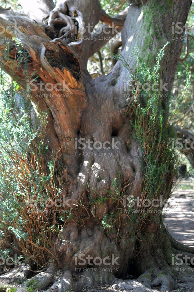 Ancient Yew tree in ancient woodland. foto stock royalty-free