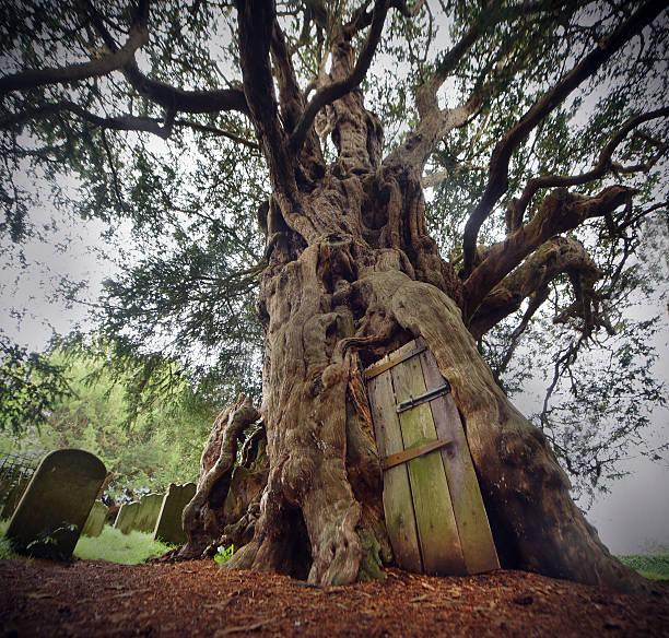 alte eibe tree - waldfriedhof stock-fotos und bilder
