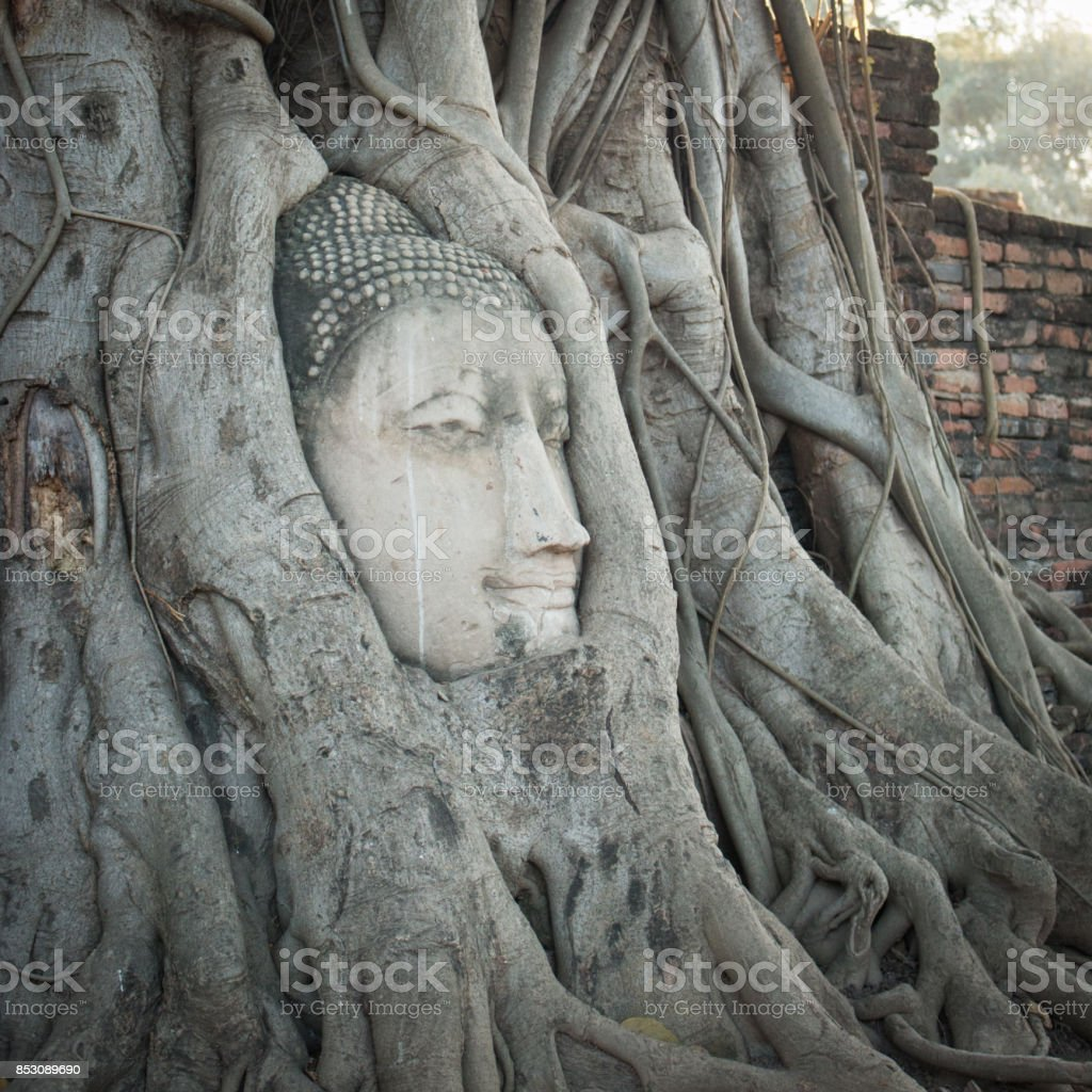anciet buddha's head in tree roots stock photo