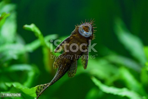 istock Ancistrus dolichopterus. Fish ancistrus ordinary, catfish stuck stuck to the glass of the aquarium and you can see the belly and the suction Cup in the aquarium with a green background of plants 1134470426