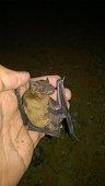 istock COVID-19 and Bats - Bats and disease - Bat Conservation Trust. 1259854136