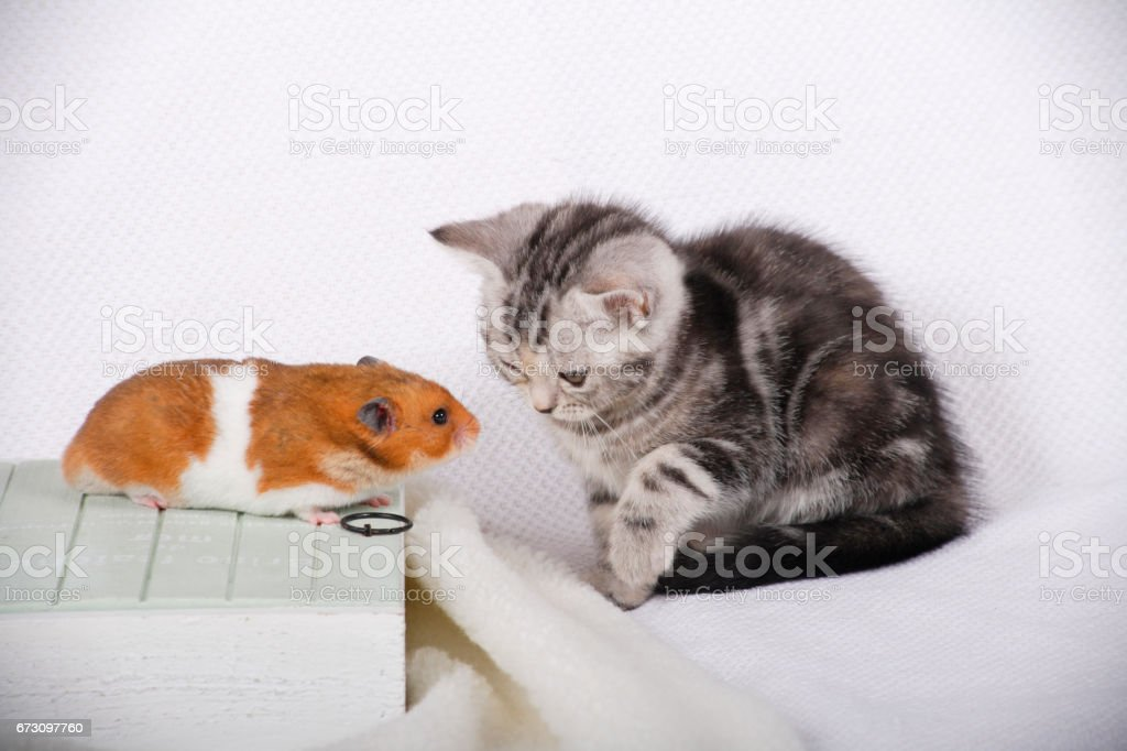 CAT and Hamster stock photo