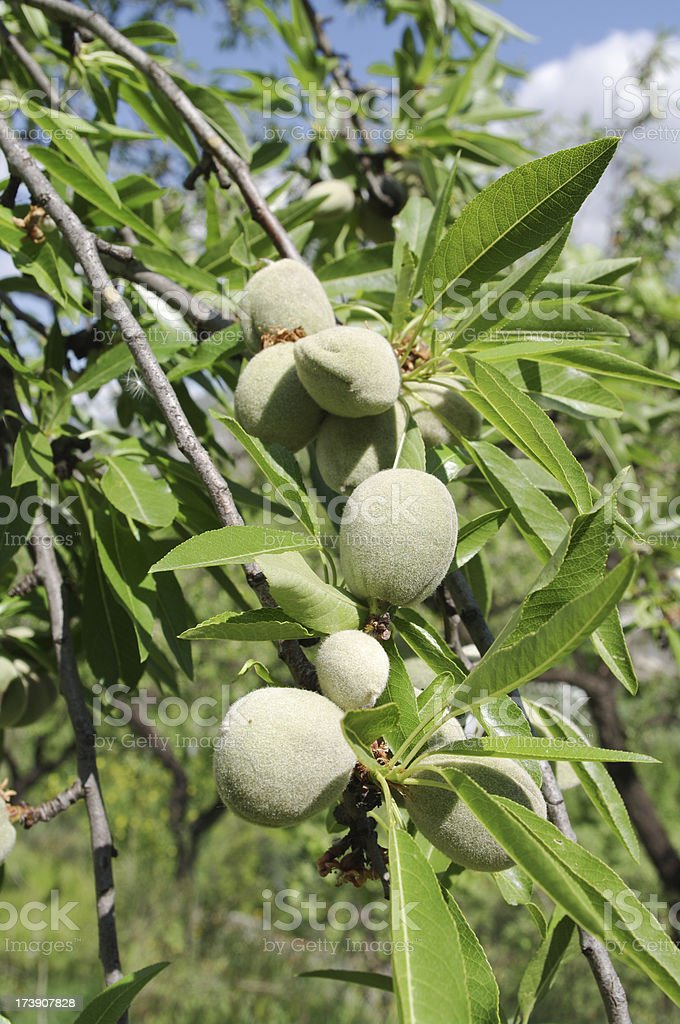 Andalusia wild almond nuts on tree in Spain. Stock photo. royalty-free stock photo