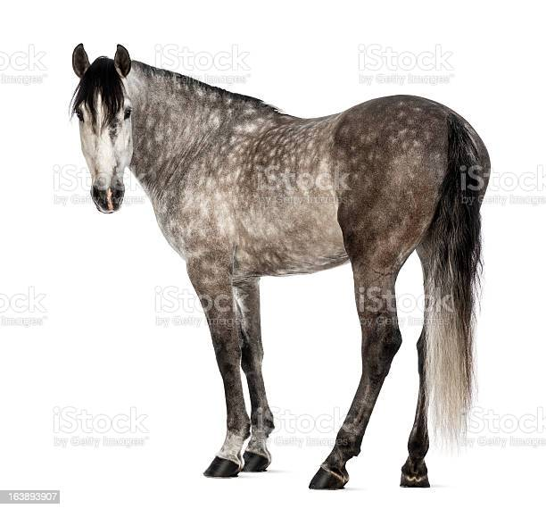 Andalusian 7 years old looking at camera picture id163893907?b=1&k=6&m=163893907&s=612x612&h=6sy 1lozcurq8sxct 25pw0opzwcwejwhio fali1sc=