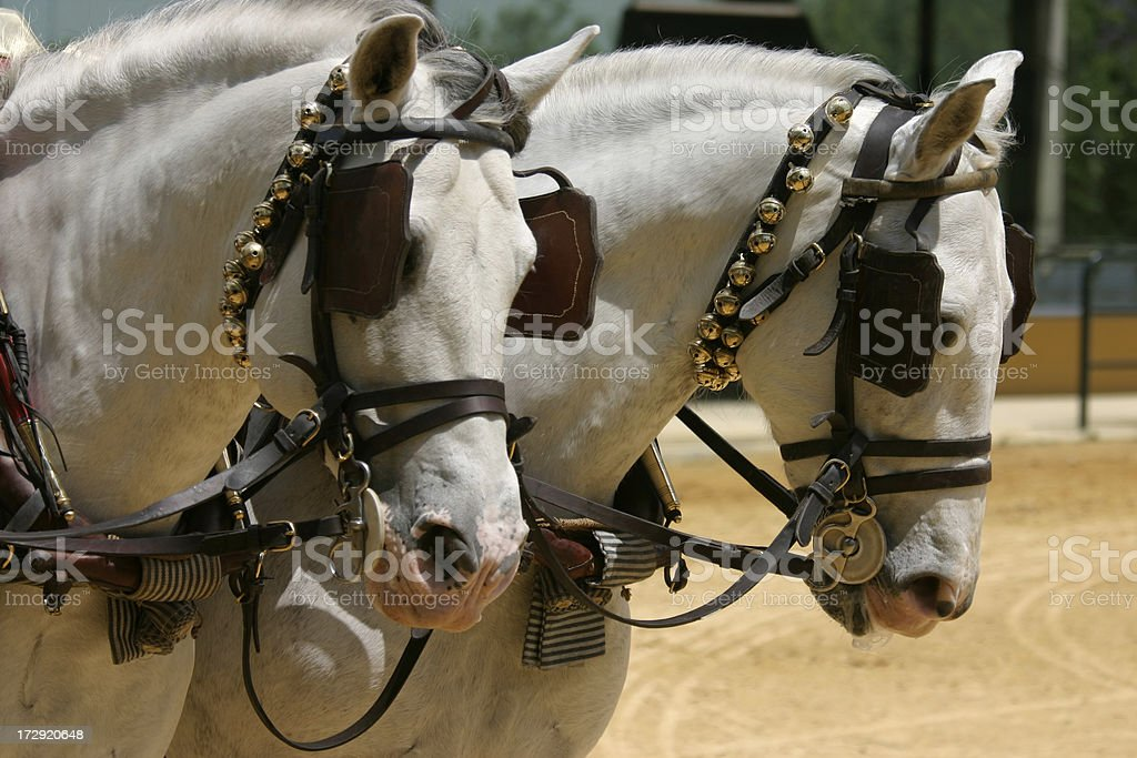 Andalusian Carriage Horses stock photo