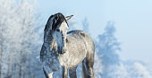 istock Andalusian gray horse in winter forest on a blue sk 590262646