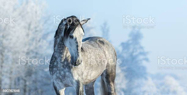 Andalusian gray horse in winter forest on a blue sk picture id590262646?b=1&k=6&m=590262646&s=612x612&h=lq7ltujy3yphwzi9wlhgsxc0eyakiosodiofqjydcim=