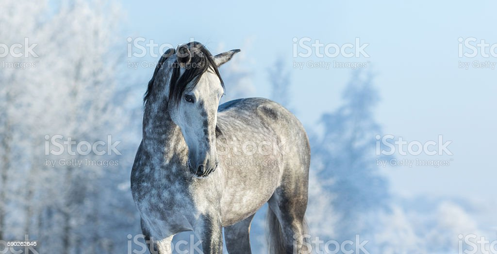 Andalusian gray horse in winter forest on a blue sk stock photo