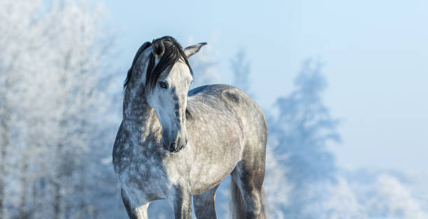 Andalusian gray horse in winter forest on a blue sk – Foto