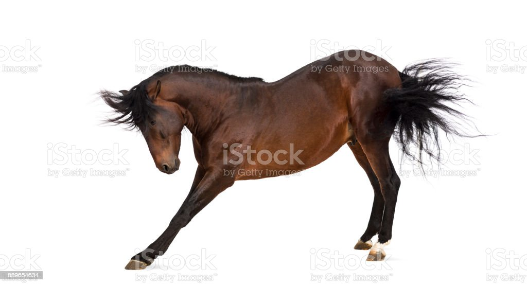 Andalusian horse bowing stock photo
