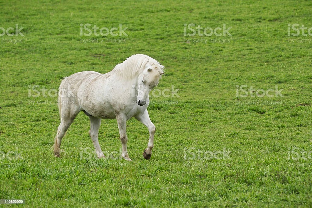 Andalusian Horse Filly Prancing royalty-free stock photo