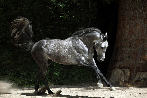 Andalusian horse galloping near the stable