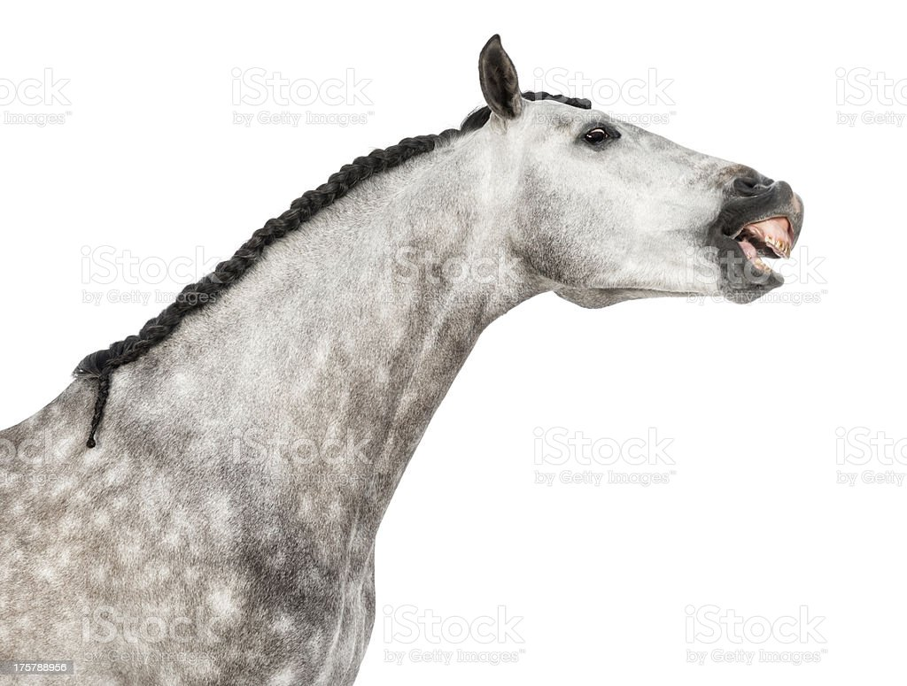 Andalusian horse head,stretching its neck, making a face stock photo