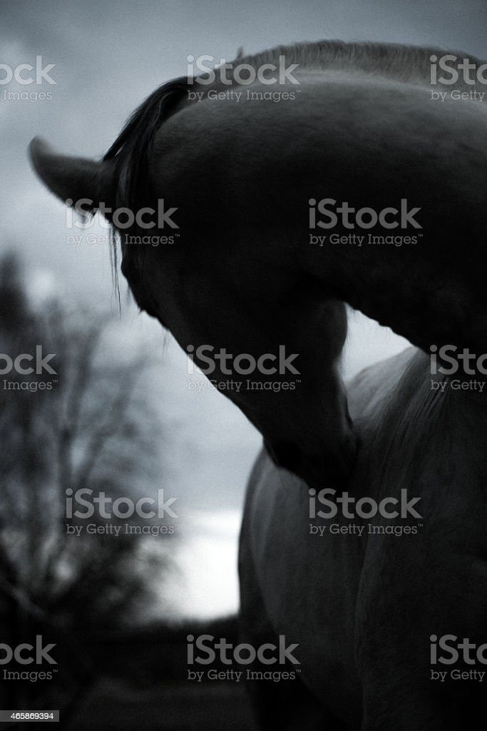 Andalusian Horse in black and white stock photo