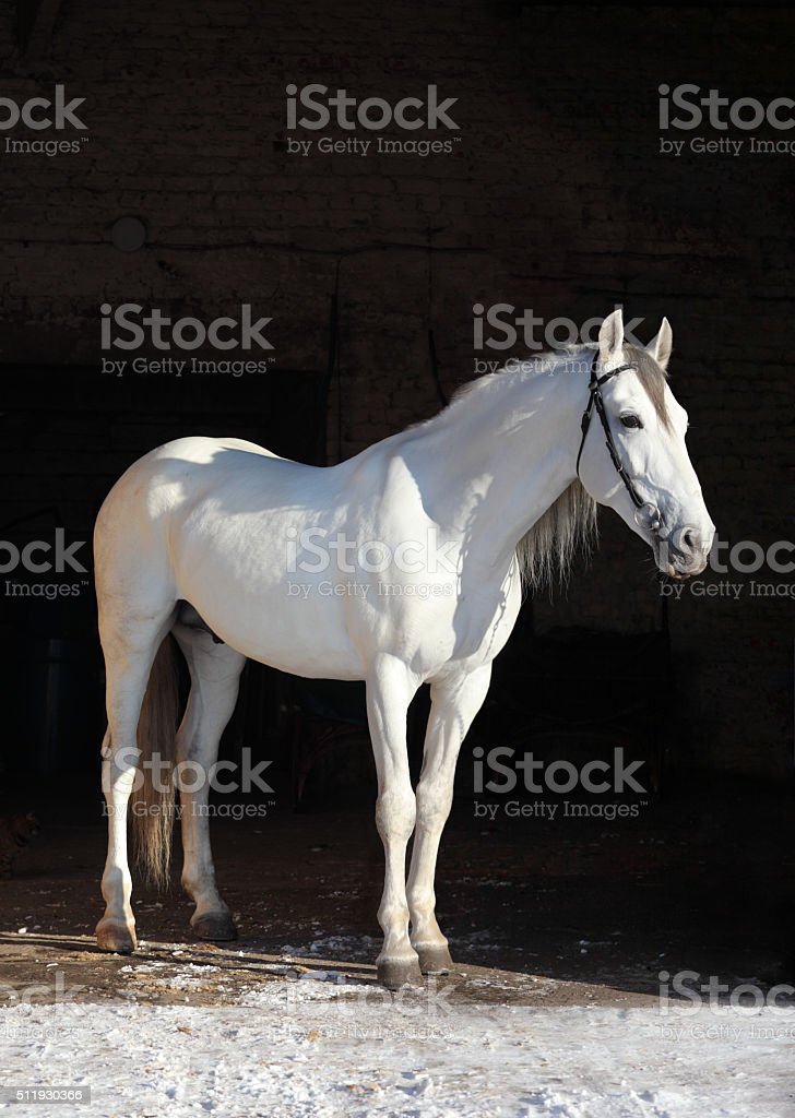 Andalusian horse in stable doors stock photo