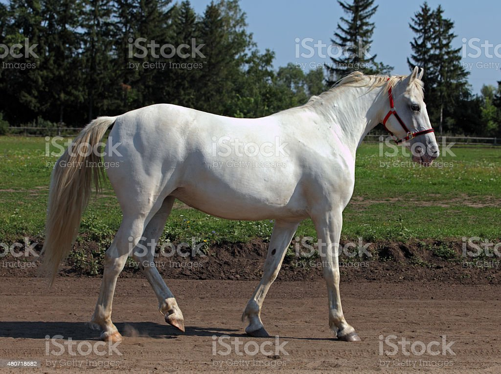 Andalusian horse in the stud farm stock photo