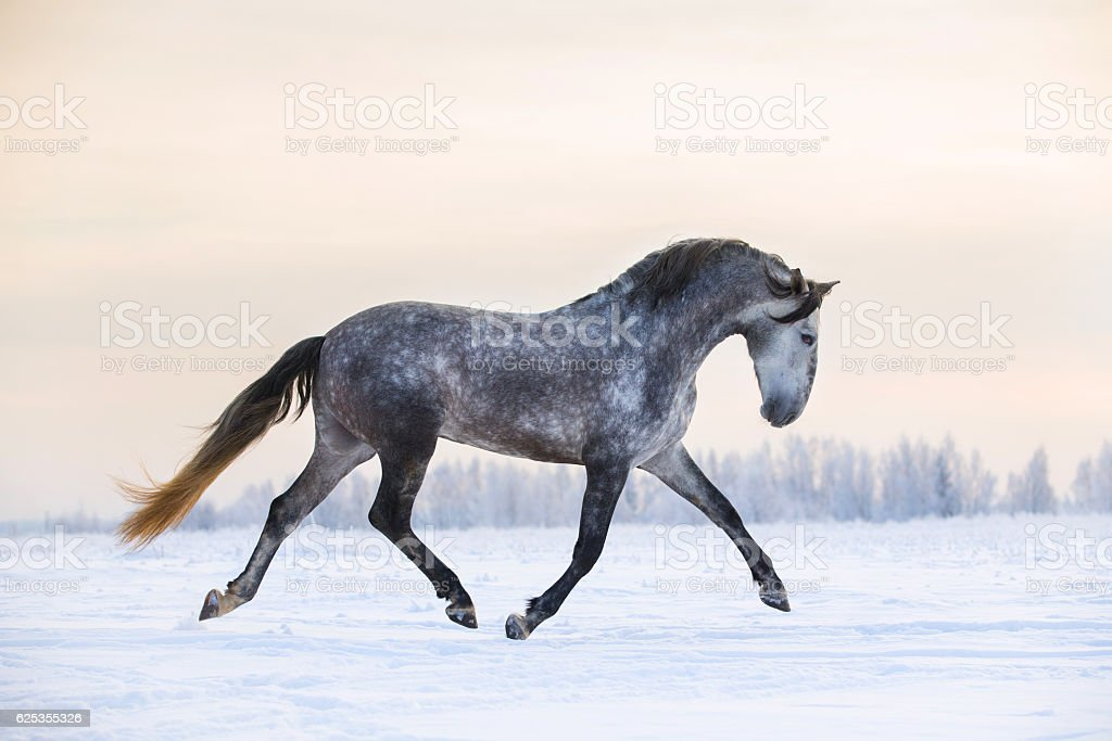 Andalusian horse in winter stock photo