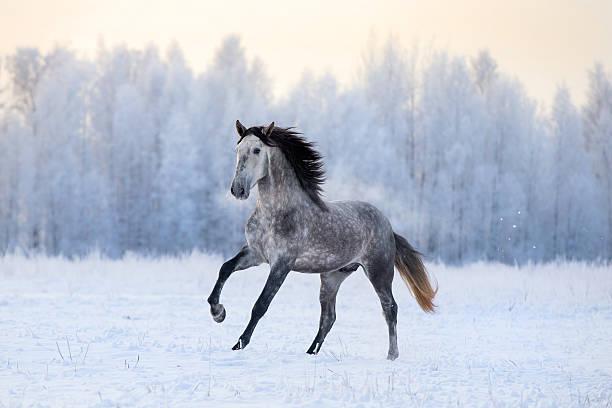andalusian horse in winter - andalusier pferd stock-fotos und bilder