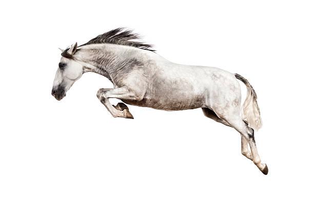 andalusische pferd springen - andalusier pferd stock-fotos und bilder