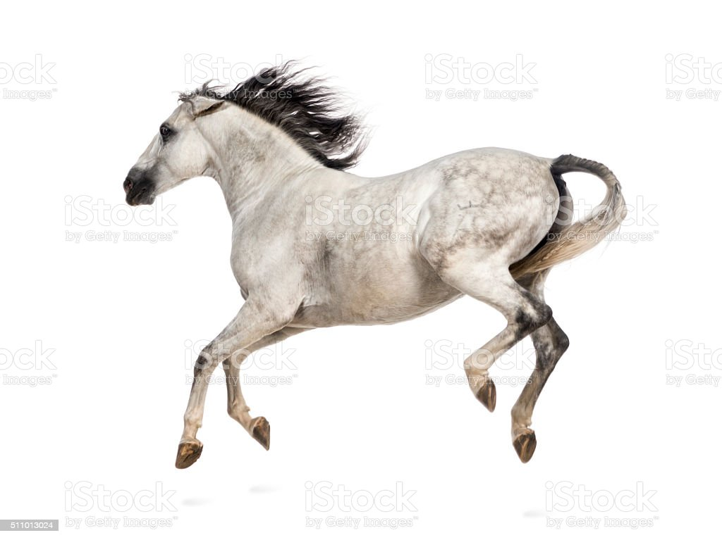 Andalusian horse kicking out stock photo