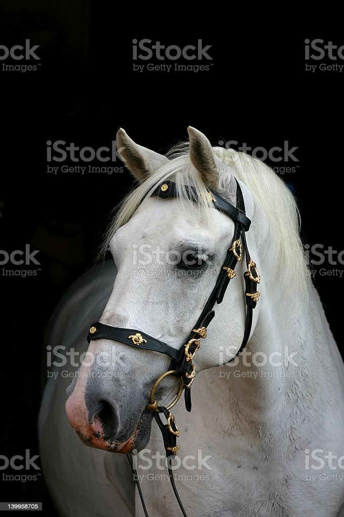 Andalusian horse on black royalty-free stock photo