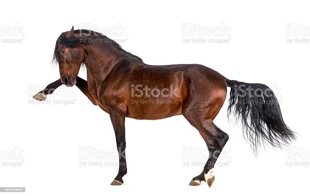 Andalusian horse performing Spanish walk stock photo