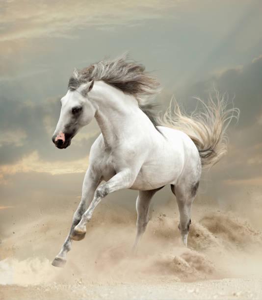 andalusier spielt im sand in der wüste - andalusier pferd stock-fotos und bilder